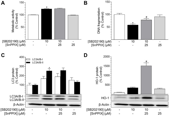 Impact of the HO-1 inhibitor SnPPIX on effects of SB202190 on metabolic activity, apoptosis and autophagy HUVEC were pre-incubated with the HO-1 activity inhibitor SnPPIX (25 μM) for 1 h followed by addition of SB202190 (10 μM) and continuation of incubation for another 24 h. Thereafter, cells were analysed for metabolic activity (A) and DNA fragmentation (B) . Lysates of cells were analysed for autophagy-related protein LC3A/B-I/II (C) and HO-1 (D) . Protein expression values were normalised to β-actin. Percent control represents comparison with vehicle-treated group (set as 100%). Values are means ± SEM of n = 21–24 (A), n = 10–12 (B), n = 12 (C) or n = 16 (D) experiments. * P