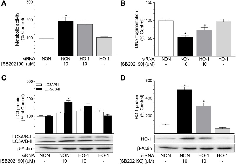 Impact of HO-1 siRNA on effects of SB202190 on metabolic activity, apoptosis and autophagy HUVEC were transfected with HO-1-specific siRNA or non-targeting siRNA (NON) 24 h prior to stimulation with SB202190 (10 μM). Following a 24-h incubation, cells were analysed for metabolic activity (A) and DNA fragmentation (B) . Lysates of cells were analysed for autophagy-related protein LC3A/B-I/II (C) and HO-1 (D) . Protein expression values were normalised to β-actin. Percent control represents comparison with vehicle-treated group (set as 100%). Values are means ± SEM of n = 13–16 (A), n = 18–20 (B) or n = 20 (C, D) experiments. * P