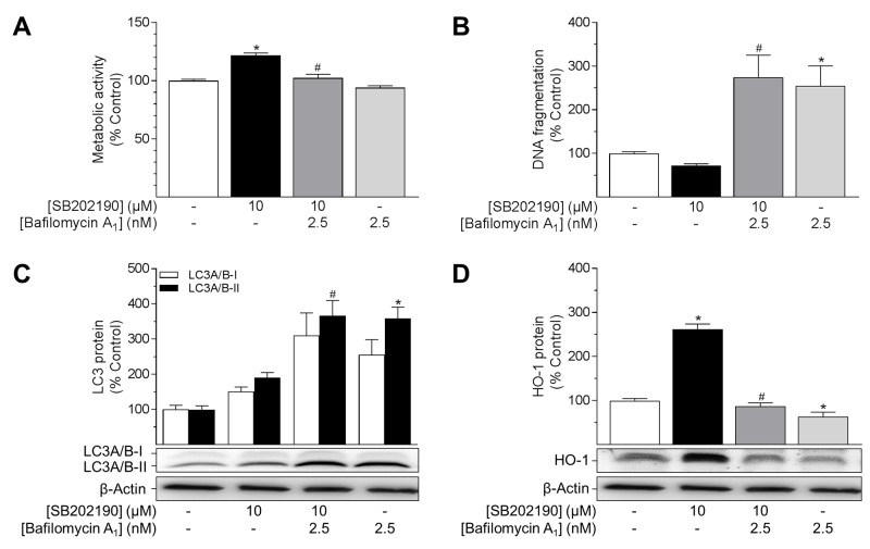 Impact of the autophagy inhibitor bafilomycin A 1 on effects of SB202190 on metabolic activity, apoptosis, autophagy and HO-1 expression HUVEC were pre-incubated with the autophagy inhibitor bafilomycin A 1 (2.5 nM) for 1 h followed by addition of SB202190 (10 μM) and continuation of incubation for another 24 h. Thereafter, cells were analysed for metabolic activity (A) and DNA fragmentation (B) . Lysates of cells were analysed for protein expression of LC3A/B-I/II (C) and HO-1 (D) . Protein expression values were normalised to β-actin. Percent control represents comparison with vehicle-treated group (set as 100%). Values are means ± SEM of n = 19–25 (A), n = 14–15 (B), n = 11 (C) and n = 12 (D) experiments. * P