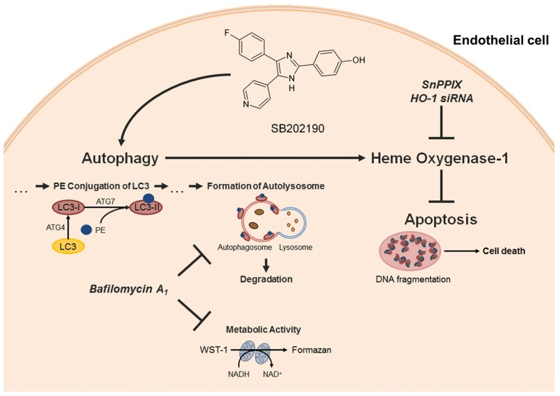 Proposed mechanism underlying the cytoprotective action of SB202190 in HUVEC The p38 MAPK inhibitor SB202190 inhibits apoptosis of endothelial cells by activation of autophagy followed by induction of the cytoprotective enzyme HO-1. Activation of autophagy was substantiated by increased metabolic activity and enhanced phosphatidyl ethanolamine (PE)-conjugation of LC3-I protein, resulting in LC3-II protein [ 43 ]. Inhibition or knockdown of HO-1 reversed anti-apoptotic effects, but not autophagy activation mediated by SB202190. Inhibition of autophagosome formation by late-phase autophagy inhibitor bafilomycin A 1 [ 44 , 48 ] reversed pro-metabolic effects and HO-1 induction by SB202190 thereby abolishing anti-apoptotic effects of the p38 MAPK inhibitor in HUVEC.