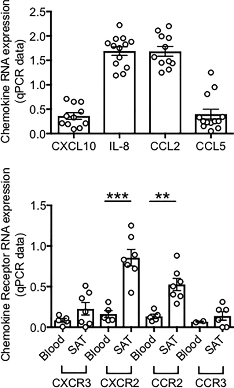 RNA expression of chemokines in adipocytes and corresponding chemokine receptors in the obese SAT versus blood. Top. Adipocytes (AD) were sonicated for cell disruption in the presence of TRIzol to separate the soluble fraction (used for RNA isolation) from lipids and cell debris. Results show qPCR values (2 -ΔΔCt ) of CXCL10, IL-8, CCL2, CCL5 RNA expression. Bottom. The SVF were resuspended in TRIzol. AD and SVF were from the same obese individuals. PBMC (blood) were from obese individuals age-, gender- and BMI-matched. Results show qPCR values (2 -ΔΔCt ) of CXCR2, CXCR3, CCR2, CCR3 RNA expression. Mean comparisons between groups were performed by Student's t test (two-tailed). **p