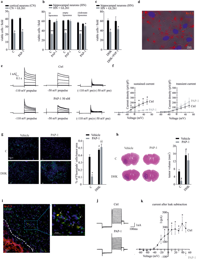 The inhibition of Kv1.3 channels induces neuroprotection against the toxic effects of glioma. ( a ) Cortical neurons (CN) co-cultured with GL261 cells (grey bars) or alone (black bars) were treated with PAP-1 (50 nM, 18 h) or vehicle (C) and analyzed for neuronal viability. Results are expressed as number of viable cells/field. *p = 0.001 vs C; n = 4, unpaired t -test. ( b ) Hippocampal neurons (HN) pre-treated or not with empty or clodronate-filled liposomes for 24 h, co-cultured as in ( a ) for a further 18 h in presence of PAP-1 (50 nM) or vehicle (C), were analyzed for neuronal viability. Results are expressed as number of viable cells/field. **p = 0.001 and *p