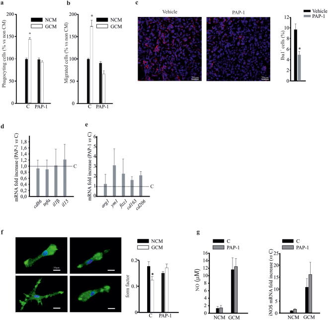 Kv1.3 activity modulates microglia functions. ( a – b ) Non-conditioned medium (NCM)- and glioma conditioned medium (GCM)-treated microglia, in the absence (C) or presence of PAP-1 (50 nM) assayed for phagocytosis ( a ) and migration ( b ). Data are expressed as the % of phagocytosing ( a ) and migrated ( b ) cells ± s.e.m. *p = 0.001vs NCM; n = 4, Kruskal-Wallis One Way ANOVA on Ranks. ( c ) Coronal brain sections of GL261-bearing mice treated with PAP-1 (40 mg/kg/die) or vehicle were stained for Iba1 (red) and Hoechst (blue), scale bar 20 µm. On the right, % of Iba1 + cell area normalized for tumor area, *p = 0.002, unpaired t -test, n = 6. ( d , e ) RT-PCR for pro- ( cd86, tnfα, il1α, il15 ) and anti- ( arg1, ym1, cd163, cd206 ) inflammatory genes expressed by CD11b + cells extracted from ipsilateral hemisphere of brains of GL261-bearing mice treated with vehicle (C) or PAP-1 (40 mg/kg/die). Data are expressed as fold change of PAP-1-treated vs vehicle-treated samples (C, dashed lines) and are the mean ± s.e.m., *p