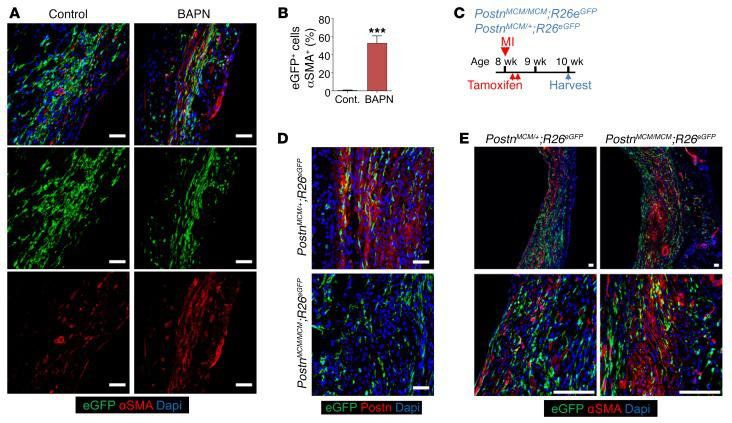 Effect of ECM maturation on αSMA expression in myofibroblasts. ( A and B ) Representative IHC images ( A ) and quantitation ( B ) of αSMA + (red) Tcf21 lineage–traced (EGFP + ) fibroblasts from the infarct region of hearts from Tcf21 MCM/+ ; R26 EGFP mice treated with BAPN or PBS as a control (Cont.). Nuclei are shown with DAPI (blue). Scale bars: 20 μm. Data are shown as mean ± SD ( n = 3). *** P