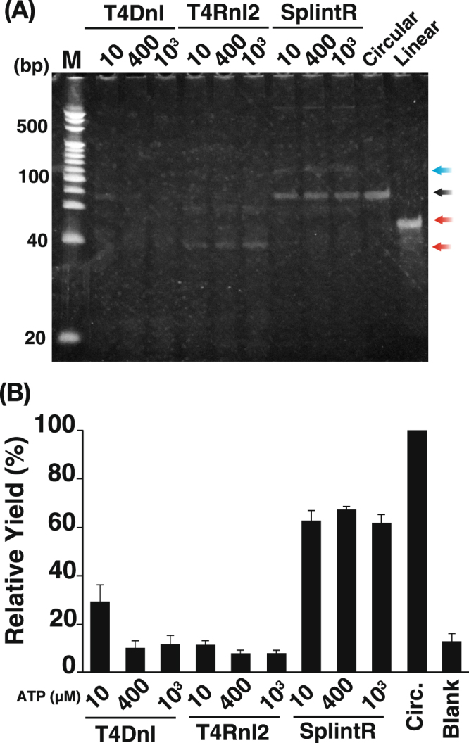 Comparison of the sealing efficiency of the RNA-splinted padlock probe under different ATP concentrations. ( A ) Denatured polyacrylamide gel analysis of products ligated by T4 DNA ligase (T4Dnl), T4 RNA ligase 2 (T4Rnl2), and SplintR ligase (SplintR) using an RNA-splinted padlock probe. The numbers above each lane indicate the ATP concentration (µM) used in the ligation reaction. M, 20-bp DNA size marker; Linear, linear padlock probe; Circular, circular padlock probe made by CircLigase. The white arrow indicates a linear padlock probe. The black arrow indicates a circularized padlock probe. The red arrows indicate oligo debris of DNase treatment. The blue arrow indicates a circularized padlock probe/RNA hybrid molecule. ( B ) Relative yield of the circularized padlock probe. The gel images were analyzed using ImageJ for comparisons with the known concentration of the pre-circularized probe made by CircLigase. The yield of each padlock probe was calculated by setting the control as 100%. Circ., circular probe made by CircLigase; Blank, blank lane. Five electrophoresis experiments were conducted using five independent reaction products, and the mean and error were calculated.