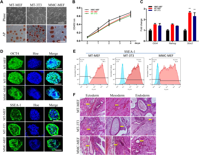 Maintenance of self-renewal and pluripotency of J1 mES on methanol fixed fibroblasts. J1 mES cells were cultured on methanol fixed MEF (MT-MEF) and NIH3T3 (MT-3T3) cells, and Mitomycin C treated MEF (MMC-MEF). ( A ) Morphology and AP staining of J1 mES cells. ( B ) Growth curve of J1 mES. ( C ) qRT-PCR analysis of pluripotent genes in J1 mES. ( D , E ) Immunofluorescence ( D ) and flow cytometry analysis ( E ) of pluripotent markers OCT4 and SSEA-1 in J1 mES. Nuclei were stained by Hoechst 33342 (Hoe). ( F ) Teratoma formation of J1 mES. Arrows indicate tissues from the three germ layers. Scale bar, 400 μm for A, 200 μm for F, and 100 μm for D.