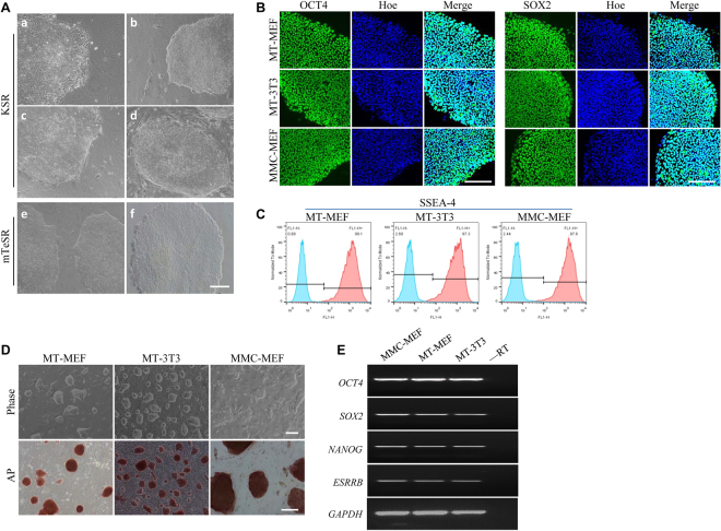 Human and porcine iPS cells were maintained on feeders derived from methanol fixed fibroblasts. ( A ) Human iPS cells were cultured on MT-MEF (a), MT-3T3 (b), MT-hMSC (c), and MMC-MEF (d) in KSR medium, and on MT-MEF (e) and Matrigel (f) in mTeSR medium. ( B ) Immunofluorescence analysis of OCT4 and SOX2 expressions in human iPS cells. ( C ) Flow cytometry analysis of SSEA-4 in human iPS cells. ( D ) Porcine iPS cells were cultured on MT-MEF, MT-3T3, and MMC-MEF. ( E ) RT-PCR analysis of OCT4 , SOX2 , NANOG , and ESRRB expressions in porcine iPS cells. Scale bar, 200 μm.