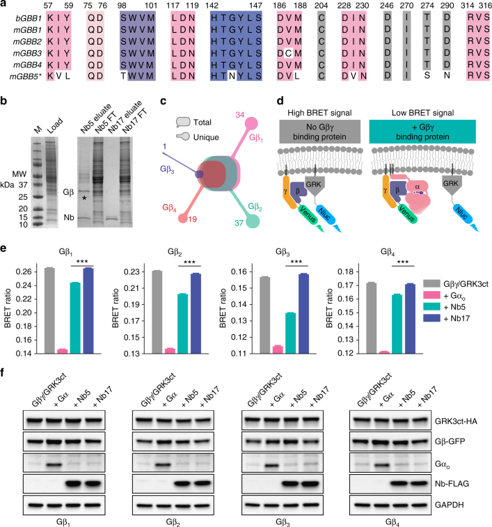 Gβ selectivity of Nb5. a Multiple sequence alignment of key amino acid residues of Gβ that interact with Nb5. *The amino acid numbering of Gβ 5 has an off-set of −50. b Nb5-mediated Gβγ extraction from mouse brain. Solubilized and partially purified extracts from mouse brain (left) were subjected to either Nb5- (right, lanes 1 and 2) or Nb17- (right, lanes 3 and 4) mediated immobilized-metal affinity purification of Gβγ. c In-gel protein digestion of Gβ subtypes (band marked in b with asterisks) purified from mouse brain. Peptides were separated, analyzed and searched against a full mouse proteome to identify unique peptides from Gβ 1 , Gβ 2 , Gβ 3 , and Gβ 4 . d Schematic diagram of the effect of Gβγ-binding proteins on the BRET assay. Co-transfection of HEK293T/17 cells with Venus-Gβγ and masGRK3ct-Nluc-HA produced a high BRET signal through their direct interaction (left). Introduction of Gβγ-binding proteins (e.g., the Gα subunit) competed with masGRK3ct-Nluc-HA, lowering the BRET signal (right). e Effects of Nb5 on the interaction of Gβγ and the C-terminus of GRK3. The maximum BRET signal was determined by co-transfection of different Venus-Gβ subtypes + Gγ 2 pairs and masGRK3ct-Nluc-HA (grey). A minimum BRET signal also was determined after co-transfection of Venus-Gβ 1 γ 2 and masGRK3ct-Nluc-HA with an excess amount of Gα oA (pink). Effects of Nb5 and Nb17 were examined by co-transfection of Venus-Gβγ and masGRK3ct-Nluc-HA with either Nb5 (greencyan) or Nb17 (purple). Experiments were performed with Gβ subtypes 1–4 + Gγ 2 pairs. Each bar represents the mean of six replicates. Similar results were obtained in three independent experiments. Results are expressed as the mean ± SEM. One-way ANOVA with Tukey's post hoc multiple comparison test relative to the Gβ 1 γ 2 /GRK3ct control, *** P ≤ 0.001, n = 6 replicates. f Western blot quantification of the expression levels of Gβ1–4, GRK3, Gα, Nb5, and Nb17 (Full blots are shown in Supplementary Figure 4a )