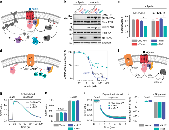 Nb5 as a control-switch for GPCR-mediated Gβγ signaling. a Schematic diagram of the GPCR-mediated Gβγ signaling network that controls various cellular functions. b Parental CHO-APJ cells, CHO-APJ cells transfected with pcDNA3.1 (+) empty vector, transfected CHO-APJ-Nb5 and CHO-APJ-Nb17 cells were treated with 1 μM apelin over 0–5 min to investigate the effect of Nb5 on the phosphorylation of ERK1/2 and AKT. Nb5 significantly decreased the phosphorylation of both ERK1/2 and AKT as compared to the Nb17 control (compare lanes marked with asterisks). Full blots are reported in Supplementary Figure 4b . c No significant effect of Nb17 transfection (purple) was observed on the phosphorylation of either ERK1/2 or AKT as compared to parental CHO-APJ cells (black) and CHO-APJ cells transfected with pcDNA3.1 (+) empty vector (red). Results are expressed as the mean ± SEM, n = 3 replicates, * P