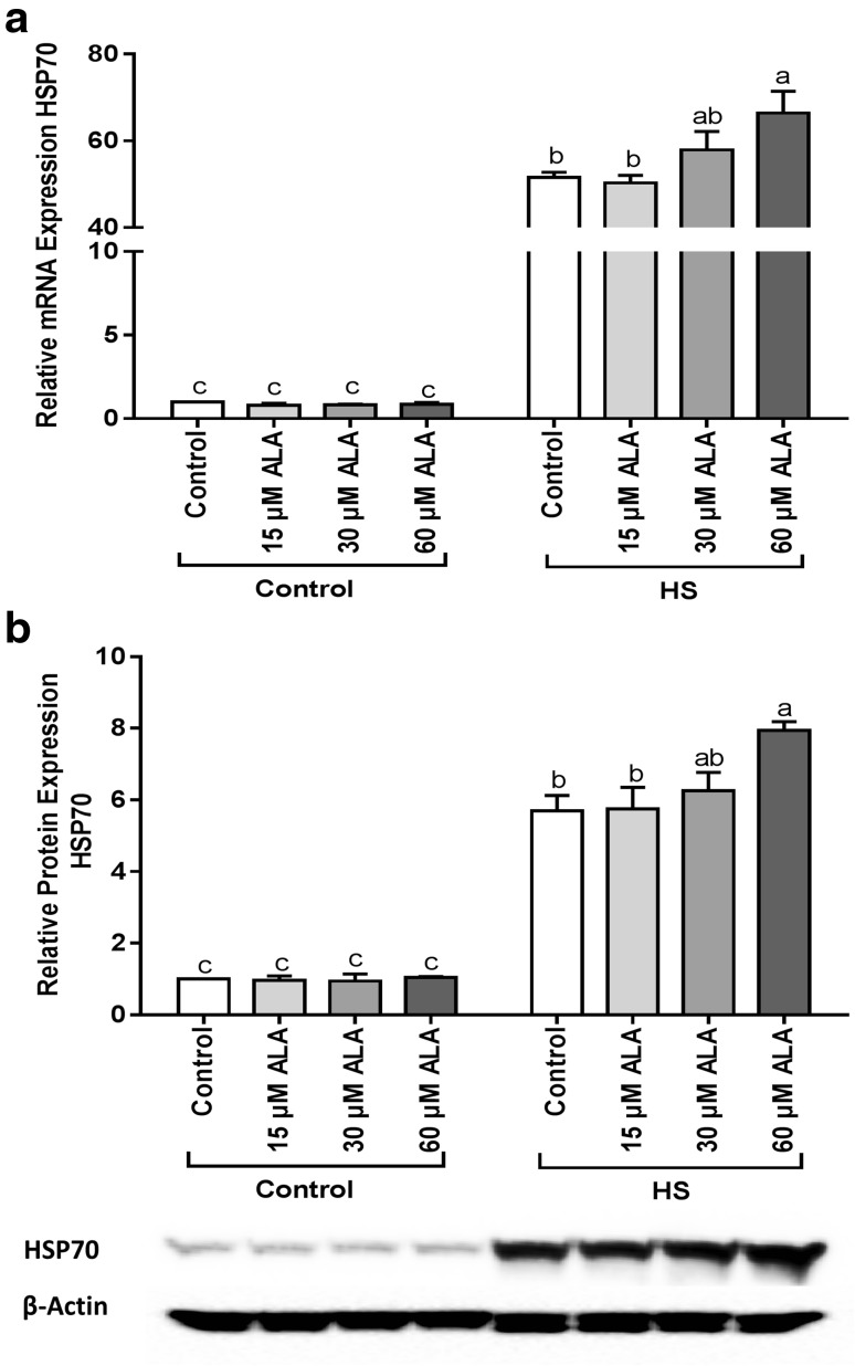 ALA increases the HSP70 expression under HS conditions. Caco-2 cells grown on inserts and pretreated with ALA (24h) were exposed to HS (42 °C) for 6 h (qRT-PCR) or 24 h (WB) to evaluate the expression of HSP70 in mRNA ( a ) and protein levels ( b ). Results are expressed as mRNA expression or protein expression (normalized with β-actin) relative to unstimulated cells as mean ± SEM of three independent experiments. Different lower case letters denote significant differences among groups
