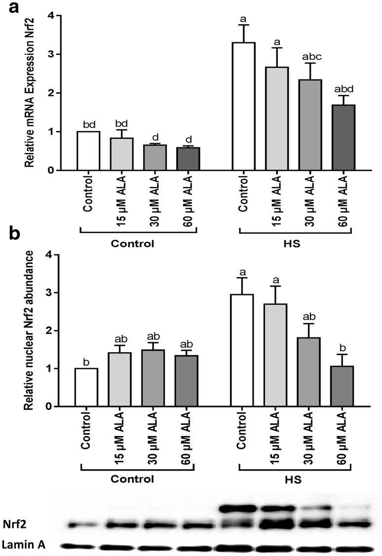 ALA prevents the HS-induced expression and nuclear translocation of Nrf2. Caco-2 cells grown on inserts (qRT-PCR) or 6-well plates (WB) and pretreated with ALA (24 h) were exposed to HS (42 °C) for 6 h. Results are expressed as mRNA expression (normalized with β-actin) ( a ) and nuclear abundance (normalized with Lamin A) ( b ) relative to unstimulated cells as mean ± SEM of three independent experiments. Different lower case letters denote significant differences among groups