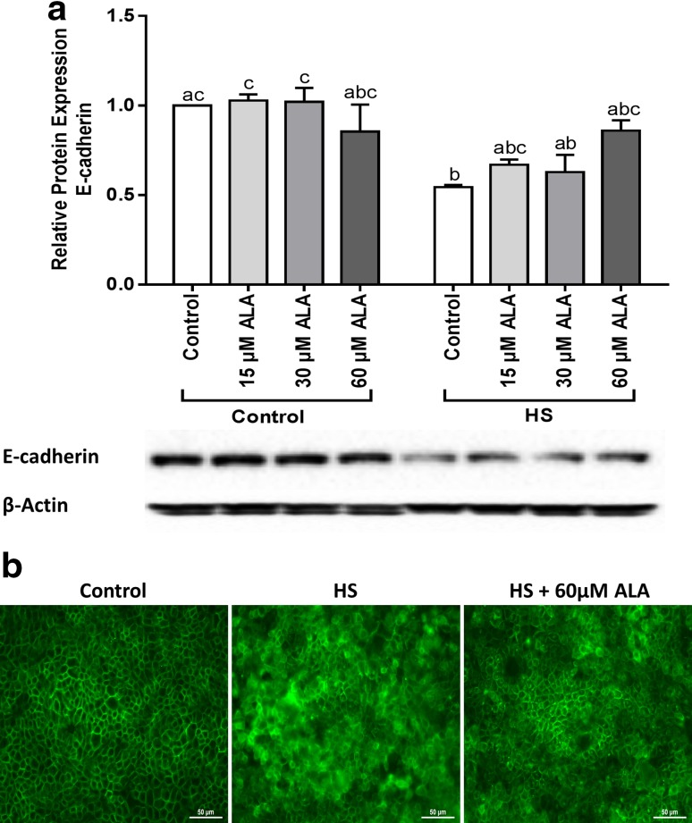 ALA partly prevents the HS-induced disturbance of E-cadherin expression. Caco-2 cells grown on inserts and pretreated with ALA (24 h) were exposed to HS (42 °C) for 24 h to evaluate the E-cadherin protein expression ( a ) and cellular distribution ( b ). For the WB analysis, results are expressed as protein expression (normalized with β-actin) relative to unstimulated cells as mean ± SEM of three independent experiments. Different lower case letters denote significant differences among groups. Localization of E-cadherin was evaluated by immunofluorescence staining (Objective, ×40)