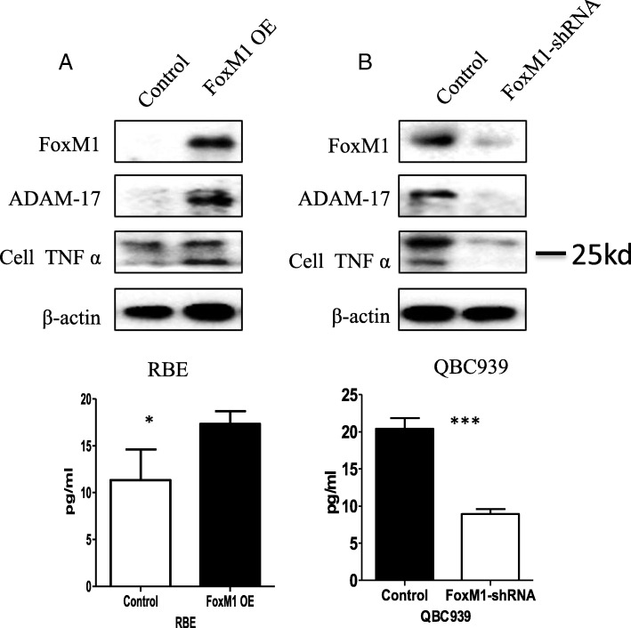 FoxM1 regulates ADAM-17 expression promoting TNFa expression and cleavage. a RBE cells were stably transfected with FoxM1 and protein levels of FoxM1, ADAM-17, and TNFa were detected in the whole cell lysates by Western blotting (upper) and TNFa was detected by ELISA in the supernatants (lower). b QBC 939 cells were stably transfected with FoxM1-shRNA and protein levels of FoxM1, ADAM-17, and TNFa were detected in the whole cell lysates by Western blotting (upper) and TNFa was detected by ELISA in the supernatants (lower). OE: overexpression. * P