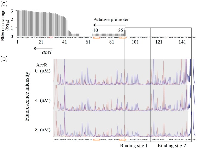 Identification of the AceR-binding site by a DNase I footprinting assay. (a) RNA-Seq transcriptomic data showing the transcription start site for the aceI transcript. X -axis shows the nucleotide sequence of aceI and its putative promoter (−10 and −35 boxes are indicated). Y -axis displays the relative sequence coverage from RNA-Seq data, showing that the aceI transcript starts 11 bp from the −10 box of the promoter. (b) DNase I footprinting with purified AceR. A DNA fragment (122 bp) of the intergenic region between aceI and aceR was PCR amplified and labelled with 5′-labelled 6-FAM. DNase I digestion reactions were prepared and analysed by capillary electrophoresis in an ABI 3730XL sequencer as described in the Materials and methods section. Three electropherograms show the reactions with the following increasing concentrations of AceR: 0, 4 and 8 μM. Electropherograms consist of overlapped blue and red nucleotide peaks, which correspond to experiments performed with DNA labelled on the aceI and aceR ends of the fragment, respectively. Protected regions are associated with decreasing peak intensity as AceR concentration increases.