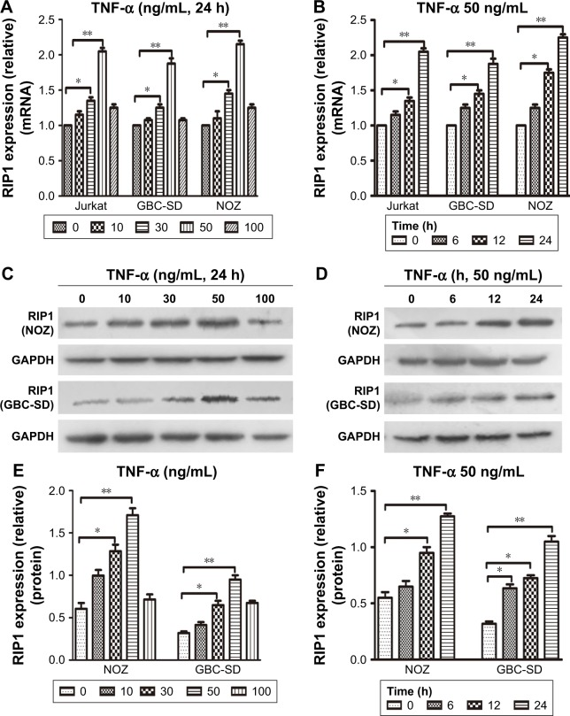 TNF-α enhances RIP1 mRNA and protein expression. Notes: ( A , B ) The Jurkat, GBC-SD, and NOZ cells were stimulated with 10, 30, 50, and 100 ng/mL of recombinant human TNF-α for 24 h. qPCR indicated that TNF-α dose and time dependently enhanced RIP1 mRNA levels in the three cell lines, and the strongest effect was observed with a concentration of 50 ng/mL. ( C , E ) The GBC-SD and NOZ cells were stimulated with 10, 30, 50, and 100 ng/mL of recombinant human TNF-α for 24 h. Western blotting indicated that TNF-α dose dependently enhanced RIP1 protein levels, and the strongest effect was observed with a concentration of 50 ng/mL. ( D , F ) GBC-SD and NOZ cells stimulated with 50 ng/mL of recombinant human TNF-α for 6, 12, and 24 h. Western blotting indicated that TNF-α time dependently enhanced RIP1 protein levels. A, B, E, F; n=3, mean±SEM; * p