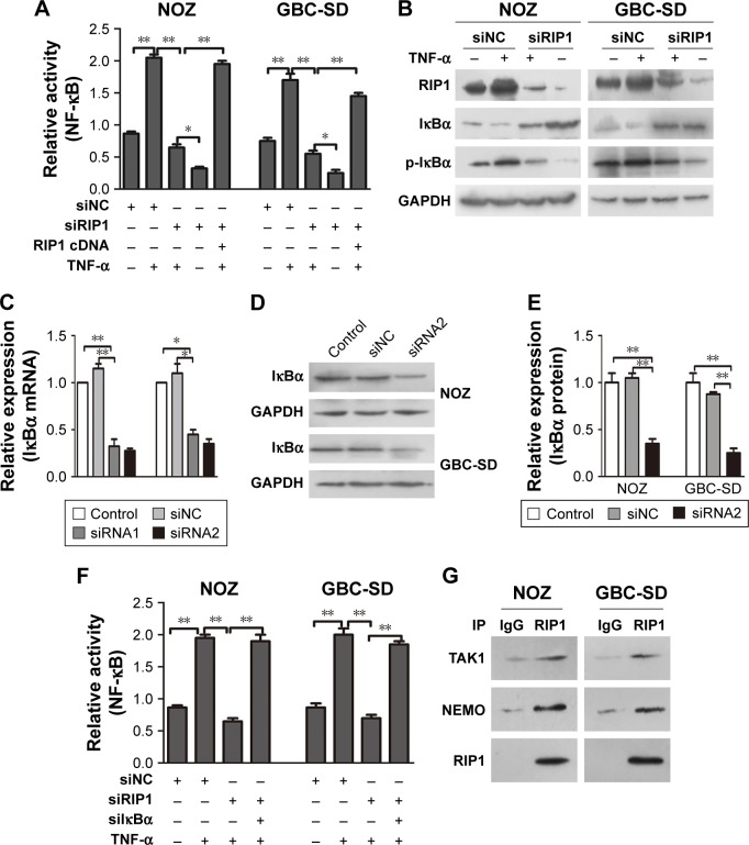 RIP1 is essential for TNF-α-mediated NF-κB activation. Notes: ( A ) NF-κB-luciferase activity was examined in the siNC and siRIP1 cell groups after being stimulated with 50 ng/ml of recombinant human TNF-α or left unstimulated for 24 h. Transfection of PcDNA3.1-RIP1 vector into the siRIP1 cell groups reversed the impairment of TNF-α-mediated NF-κB activation. ( B ) Western blot analyses of RIP1, iκBα, and p-iκBα expression in protein extracts from the siNC and siRIP cell groups that were stimulated with 50 ng/mL of recombinant human TNF-α or left unstimulated for 24 h. ( C–E ) Transfection of silκBα into NOZ or GBC-SD cells effectively inhibited iκBα mRNA and protein expression. (F) NF-κB-luciferase activity assays showed that knockdown of lκBα could reverse the impairment of TNF-α-mediated NF-κB activation in the siRIP1 cell groups. (G) immunoprecipitation analysis showed that TAK1 and NEMO are associated with RIP1. B, C, D and F; n=3, mean±SEM; * p