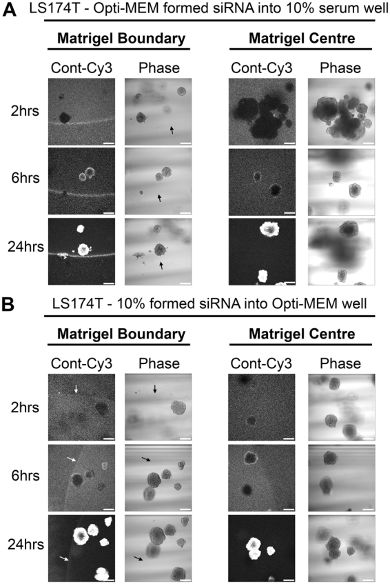 Matrigel and spheroid uptake of Opti-MEM-formed siRNA can be improved in the presence of 10% serum. ( A ) Representative confocal images of LS174T spheroids showing localization of control-Cy3 siRNA formed in 500 μl Opti-MEM using <t>RNAiMax,</t> but co-incubated in a well containing 1.5 mls DMEM containing 10% serum, at 2, 6 and 24 hours post transfection. ( B ) Representative confocal images of LS174T spheroids showing localization of control-Cy3 siRNA formed in 500 μl DMEM containing 10% serum using RNAiMax, but co-incubated in a well containing 1.5 mls Opti-MEM, at 2, 6 and 24 hours post transfection.