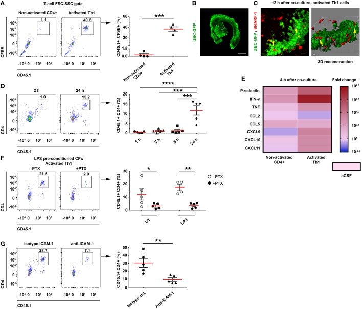 <t>CD4</t> T cells home to the choroid plexus (CP) in an activation-, chemokine-, and intercellular adhesion molecule 1 (ICAM-1)-dependant manner. Intact lateral ventricle (LV) CPs from non-perfused CD45.2 mice, with or without lipopolysaccharide (LPS) preconditioning, were cocultured ex vivo with CD45.1 CD4 T cells in artificial CSF (aCSF) and then analyzed with flow cytometry and confocal microscopy. (A–E) Ex vivo cocultures, showing the homing of activated T cells to the CP with flow cytometry and live-cell imaging, and their impact on gene expression. (A) Flow cytometry analysis of the FSC-SSC T-cell population in untreated (UT) CPs cocultured for 24 h with CD45.1 + carboxyfluorescein succinimidyl ester-labeled non-activated (Non-activated CD4 + ; n = 4) or activated (Activated Th1; n = 4) T cells. (B,C) Confocal live-cell imaging of UT, GFP-labeled CPs, which were derived from UBC-GFP mice (B) and cocultured with SNARF-1 + Th1 cells adhering to and migrating within the CP [ (C) ; yellow arrows indicate interactions]. Scale bars represent 500 µm (B) , 20 µm (C) . (D) Homing kinetics of activated Th1 cells to the CP, after 1, 2, 5, and 24 h ( n = 5 at each time point) of ex vivo coculturing with untreated CPs. (E) A heat-map representation (fold change from control aCSF) of a quantitative PCR analysis of genes encoding immune mediators, performed on total RNA isolated from LV CPs that were cocultured with either non-activated CD4 + ( n = 4) or activated ( n = 4) Th1 cells, as compared with an aCSF control ( n = 3), 4 h after initiating the coculture. Fold changes and P values are provided in Tables S3A,B in Supplementary Material. (F,G) The role of chemokines and cell adhesion molecules in T-cell homing to the CP. (F) LV CPs were isolated from mice with or without LPS preconditioning, and they were then cocultured for 24 h with CD45.1 activated Th1 cells, either with a prior pre-treatment of the chemokine-signaling inhibitor pertussis toxin (PTX) ( n = 5 for LPS-