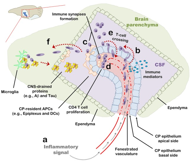 The choroid plexus (CP) as a checkpoint for cell-mediated immunity in the central nervous system (CNS): a suggested model. The CP manufactures most of the cerebrospinal fluid (CSF) and serves as an interface between the blood and the CNS. (A) The CP primarily comprises a fenestrated vasculature, a stroma, and epithelial, whose apical surfaces face the CSF. Inflammatory signals such as IL-1β and tumor necrosis factor activate the CP vasculature and epithelium and induce immune signaling in the CP compartment. (B) As part of this inflammatory reaction, peripheral blood effector and/or memory T cells are recruited to the CP stroma and into the CSF. (C,D) Antigens in the CNS, either self or foreign, which drain into the CSF, are sampled by antigen-presenting cells and presented to CD4 T cells which, thereby, undergo activation and migrate into the CNS parenchyma. (E) Intercellular adhesion molecule 1 and chemokines strongly upregulated at the apical surface of the CP epithelium allow T cells in the CSF to adhere the CP and cross its epithelium back into the CP stroma. (F) Activated CD4 T cells further facilitate cell-mediated immunity in the CNS by preconditioning the CNS for cell migration across the ependymal layer of the ventricle and/or across the parenchymal and meningeal CNS vasculature. T-cell activation in the CP compartment, may not only serve as a checkpoint for cell-mediated immunity in the CNS but also impact the immune network required for brain functioning and repair at steady-state.