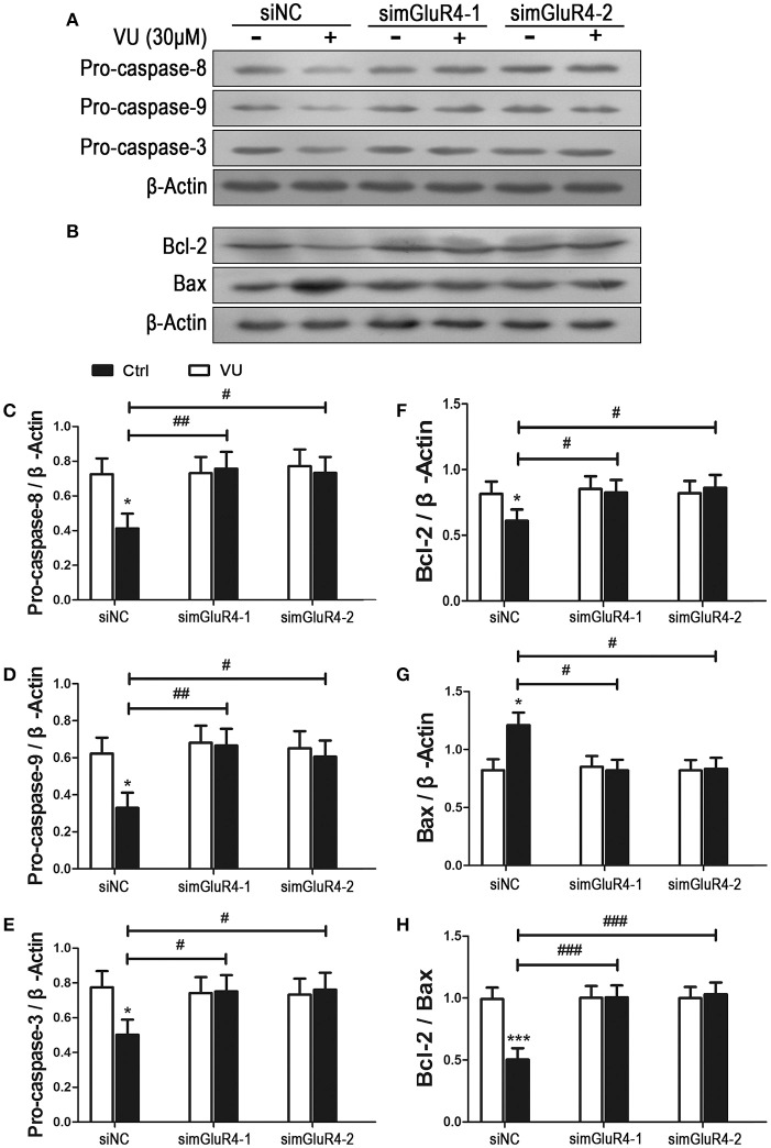 Effects of mGluR4 activation on the expression of apoptosis-related proteins in LN229 cells. (A,B) Cultured LN229 cells were transfected with non-specific siRNA (siNC) and two mGluR4-specific siRNAs (simGluR4-1 and simGluR4-2) for 24 h, followed by treatment with the vehicle (Ctrl) or 30 μM of VU0155041 for 24 h. Then, the differential expression of pro-caspase-8/9/3 (A) and Bcl-2/Bax (B) was determined by western blot (WB) analysis. (C–H) WB bands were quantified to generate the ratios of pro-caspase-8 (C) , 9 (D) , 3 (E) , Bcl-2 (F) , Bax (G) to β-actin and the ratio of Bcl-2 to Bax (H) , each statistical value represents the mean ± SD of at least three independent experiments. * P