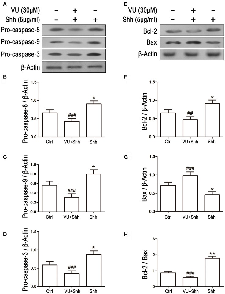 Gli-1 downregulation is involved in mGluR4-mediated dynamic expression of apoptosis-related proteins in LN229 cells. (A,B) LN229 cells were treated with the vehicle (Ctrl), 5 μg/mL shh, or 30 μM VU0155041 plus 5 μg/mL shh (VU + shh) for 24 h. Then, the expression of pro-caspase-8/9/3 (A) and Bcl-2/Bax (B) was determined by western blot (WB) analysis. (C–H) WB bands were quantified to generate the ratios of pro-caspase-8 (C) ,−9 (D) , and−3 (E) , Bcl-2 (F) , and Bax (G) to β-actin and the ratio of Bcl-2 to Bax (H) ; each statistical value represents the mean ± SD of three independent experiments. * P