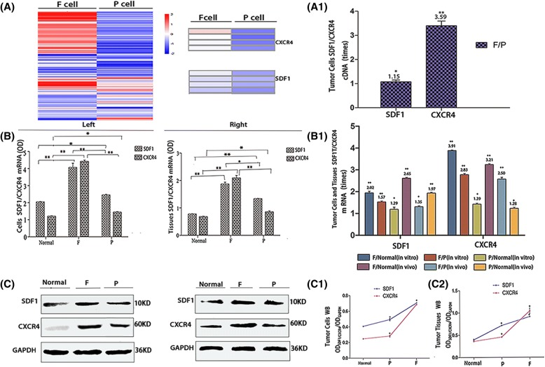 Expression of SDF1 and CXCR4 in different hepatocarcinoma cells and normal liver cells in vitro and in vivo. Transcriptome sequencing heat maps (A) and cDNA expression (A1) of SDF1/CXCR4 in F/P cells in vitro. qRT-PCR (B, B1) and Western blot (C, C1, C2) analysis of SDF1/CXCR4 mRNA and protein expressions in normal hepatocytes and F/P cells in vitro (Left) and in vivo (Right). mRNA comparison between different groups in vitro and in vivo (B1). Protein expression for in vitro (C, Left) and in vivo (C, Right). Western blot OD densities for in vitro (C1) and in vivo (C2)