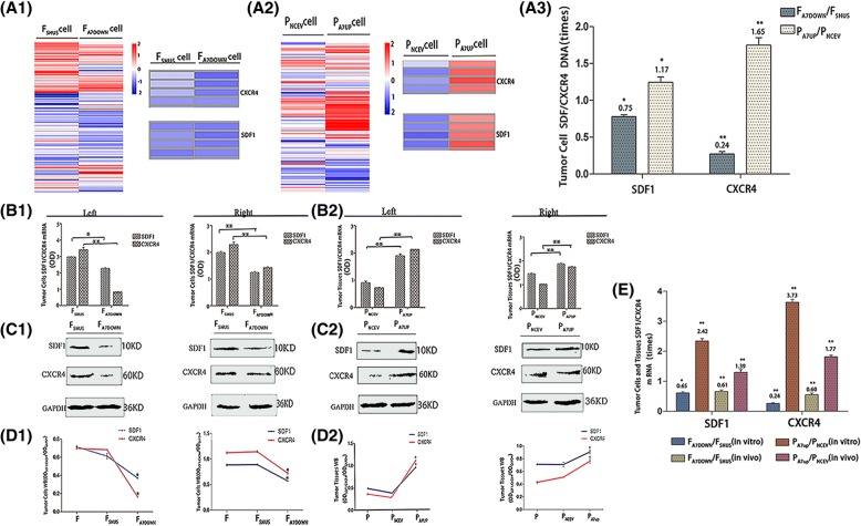 The effects of downregulation and upregulation of AnnexinA7 on the expression levels of SDF1/CXCR4 in hepatocarcinoma cells in vitro and in vivo . Transcriptome sequencing heat maps (A1, A2) and cDNA expression (A3) of SDF1/CXCR4 in F A7DOWN /F SHUS and P A7UP /P NCEV cells. qRT-PCR (B1, B2) and Western blot (C1, C2) analysis of SDF1/CXCR4 mRNA and protein expression respectively, in F A7DOWN , F SHUS , P A7UP , and P NCEV cells in vitro (Left) and in vivo (Right) . mRNA expression in F A7DOWN and F SHUS cells (B1, Left) as well as in P A7UP /P NCEV cells (B2, Left) in vitro. mRNA expressions in F A7DOWN and F SHUS cells (B1, Right) as well as in P A7UP /P NCEV cells (B2, right) in vivo. Protein expressions in F A7DOWN and F SHUS cells (C1, Left) as well as in P A7UP , P NCEV cells (C2, Left) in vitro. Protein expressions in F A7DOWN and F SHUS cells (C1, Right) as well as in P A7UP and P NCEV cells (C2, Right) in vivo. mRNA results between different groups in vitro and in vivo (E). Western blot OD densities of SDF1/CXCR4 in F SHUS and F A7DOWN cells (D1, Left) as well as in P A7UP and P NCEV cells ( D2, Left) in vitro. Western blot OD densities of SDF1/CXCR4 in F SHUS and F A7DOWN cells (D1, Right) as well as in P A7UP and P NCEV cells ( D2, Right) in vivo