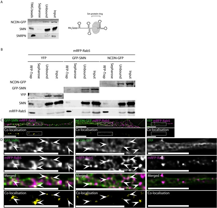 NCDN does not co-purify with snRNPs, while NCDN and SMN interact with Rab5 and colocalise with a subset of Rab5 vesicles within neurites of SH-SY5Y cells. (A) Incubation of whole-cell lysate from an SH-SY5Y cell line constitutively expressing NCDN–GFP with agarose beads conjugated to antibodies against the tri-methyl guanosine cap (Me3Gppp) of snRNAs (TMG beads) affinity purifies snRNPs as evidenced by the enrichment of the core snRNP protein SNRPN (detected with anti-SNRPN antibody, bottom row). The enriched snRNP fraction also contains SMN, which is essential for snRNP assembly. NCDN–GFP, however, does not co-enrich with snRNPs. Also shown is the core structure of mature snRNPs consisting of the heptameric Sm protein ring bound at the Sm-binding site of snRNA, as well as the characteristic tri-methyl guanosine Cap of snRNAs (Me 3 Gppp) at the 5′ end. (B) Affinity isolation of mRFP–Rab5 using RFP-Trap from cells co-transfected with plasmids to express mRFP–Rab5 together with NCDN–GFP, GFP–SMN or YFP alone co-enriches both NCDN–GFP (top row, detected with anti-GFP antibody, band is present in RFP-Trap lane but not Sepharose beads lane) and SMN-GFP (second row, detected with anti-GFP antibody, band is present in RFP-Trap lane but not Sepharose beads lane), but not YFP (third row, no band detected in RFP-Trap lane). Endogenous SMN (fourth row, detected with mouse anti-SMN) co-enriches with mRFP–Rab5 in all three samples. Detection of mRFP–Rab5 (bottom row, detected with anti-RFP antibody) confirms substantial enrichment of mRFP–Rab5 in all three samples. (C) Both GFP–SMN and NCDN–GFP partially colocalise with mRFP–Rab5 in a subset of mRFP–Rab5-containing vesicles in co-transfected SH-SY5Y cells (white signal in overlaid images, top row; yellow signal in colocalisation images, bottom row). (D) Enlargement of the boxed areas in C confirms that the colocalisation between SMN or NCDN and Rab5 occurs in punctate structures. Arrowheads identify areas of colocalisation. Colocalisation images were generated by Volocity using automatic thresholds on non-deconvolved z -sections before excluding values below 0.05. Images (excluding the colocalisation images) are single deconvolved z -sections. Scale bars: 7 µm.