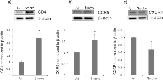 CS increases expression of HIV receptors CD4 and CCR5 in NHBE ALI cultures. NHBE ALI cultures were exposed to CS and total protein was extracted. Cells were lysed with RIPA buffer containing protease inhibitor cocktail and protein expression was quantified by Western blot analysis and normalized using β-actin. CS significantly enhances expression of CD4 (panel a) and CCR5 protein expression (panel b) when compared to air-exposed controls. CS does not increase CXCR4 protein expression (panel c). Western blot images ( a – c ) are representative of NHBE ALI cultures from three independent lungs. Relative density of the detected protein band was measured by using the ImageJ software and the values obtained were averaged. n = 3 lungs (unless stated otherwise). *Significant (p