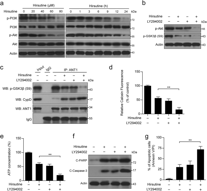 Inhibition of PI3K activity plays an important functional role in hirsutine-induced GSK3β dephosphorylation, mPTP opening, and apoptosis. a A549 cells were treated with various concentrations of hirsutine for 24 h or 80 μM hirsutine for different time intervals; whole-cell lysates were prepared and subjected to western blot analysis. b A549 cells were pretreated with 20 µM LY294002 (a specific PI3K inhibitor) for 2 h, followed by treatment with 60 μM hirsutine for 24 h. Whole-cell lysates were prepared and subjected to western blot analysis. c Cells were treated as indicated in b , the interaction of p-GSK3β, CypD, and ANT1 was determined by immunoprecipitation. d Cells were treated as indicated in b , the calcein fluorescence in the mitochondria was analyzed by microplate reader. e Cells were treated as indicated in b , ATP concentrations were measured by using ATP Determination Kit. f Cells were treated as indicated in b , C-PARP and C-Caspase 3 in whole-cell lysates were determined by immunoblotting. g Cells were treated as indicated in b , the percentage of apoptotic cells was determined by flow cytometry using Annexin V-FITC/PI staining. Data are expressed as the mean ± SD ( n = 3), ** P