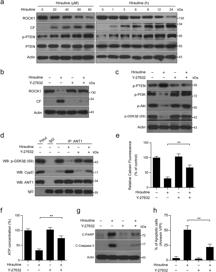 ROCK1/PTEN/PI3K pathway regulates hirsutine-mediated GSK3β dephosphorylation, mPTP opening, and apoptosis. a A549 cells were treated with various concentrations of hirsutine for 24 h or 80 μM hirsutine for different time intervals; whole-cell lysates were prepared and subjected to western blot analysis. CF: cleavage fragment. b , c A549 cells were pretreated with 20 µM Y-27632 (a ROCK1 activation inhibitor) for 2 h, followed by treatment with 80 μM hirsutine for 24 h. Whole-cell lysates were prepared and subjected to western blot analysis. d Cells were treated as indicated in b , the interaction of p-GSK3β, CypD, and ANT1 was determined by immunoprecipitation. e Cells were treated as indicated in b , the calcein fluorescence in the mitochondria was analyzed by microplate reader. f Cells were treated as indicated in b , ATP concentrations were measured by using ATP Determination Kit. g Cells were treated as indicated in b , C-PARP and C-Caspase 3 in whole-cell lysates were determined by immunoblotting. h Cells were treated as indicated in b , the percentage of apoptotic cells was determined by flow cytometry using Annexin V-FITC/PI staining. Data are expressed as the mean ± SD ( n = 3), ** P