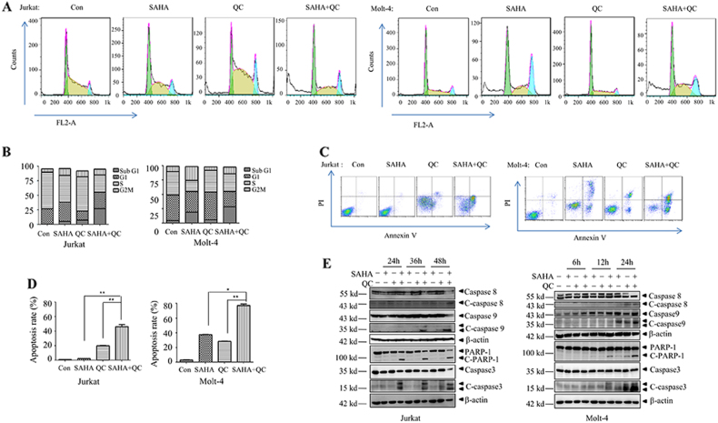 Effects of vorinostat and QC on the apoptosis of Jurkat and Molt-4 cells. Jurkat cells were treated with vorinostat (1 μM) and/or QC (5 μM) for 48 h and Molt-4 cells were treated with vorinostat (1 μM) and/or QC (2.5 μM) for 24 h. a , b Cell cycle distribution of Jurkat and Molt-4 cells was analyzed by flow cytometry. c , d Apoptosis rate of Jurkat and Molt-4 cells was established by flow cytometry analysis of Annexin-V-PI dual staining. e The indicated proteins were examined by western blots. * p