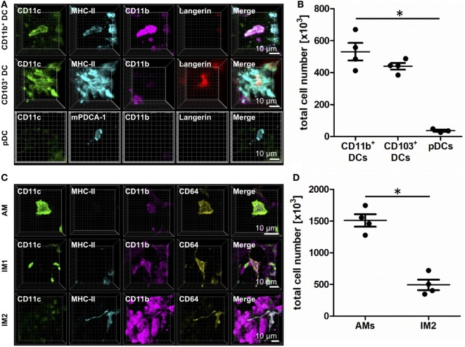 Identification of lung phagocyte subsets by immunohistochemistry (IHC). Precision cut lung slices (PCLS) (300 µm) from naive C57BL/6 mice were generated and stained with anti-CD11c, anti-MHC-II or anti-mPDCA-1, anti-CD11b, and anti-Langerin (A,B) or anti-CD64 ABs (C,D) . Stained slices were evaluated with confocal microscopy. IHC of CD11b + dendritic cells (DCs), CD103 + DCs, and plasmacytoid DCs (pDCs) (A) or alveolar macrophages (AMs), interstitial macrophages (IM)1, and IM2 (C) . Single-color and merged color display with CD11c (green), MHC-II or mPDCA-1 (turquois), CD11b (purple), and Langerin (red) or CD64 (yellow). Data are representative of at least three independent experiments. Quantification of CD11b + DCs, CD103 + DCs, and pDCs (B) and AMs and IM2 (D) in total lungs. Lines indicate mean ± SEM. Differences between groups were tested by Kruskal–Wallis test (b) or Mann–Whitney U -test (d) for significance; * p
