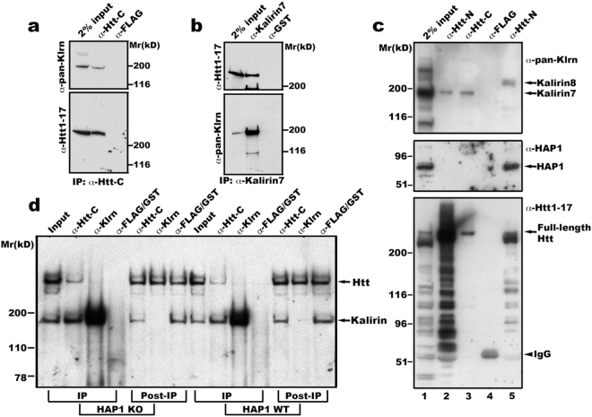 Kalirin interacts with Htt in brain membranes. ( a ) and ( b ) Kalirin and Htt are mutually co-precipitated. Mouse brain membranes as described in Method were solubilized in lysis buffer containing 1% Triton X-100 and centrifuged to discard unsolubilized membranes. The supernatant was incubated with antibodies against Htt-C (aa2703-2911 of Htt) 36 , ( a ) or aa1641-1654 of kalirin-7 ( b ). After washes, immunoprecipitates were eluted into sample buffer and analyzed by SDS-PAGE and Western blot with indicated antibodies. Shown are blot analyses from one of four experiments for both ( a ) and ( b ). ( c ) and ( d ) Interaction between Htt and kalirin is independent of HAP1. Triton X-100 solubilized mouse brain endosomes (lanes 1, 2, and 3) or mouse embryonic stem cell total membranes (lane-5) were used for immunoprecipitation with antibodies against aa181-810 of Htt (Htt-N, lanes 2 and 5) or aa2703-2911 of Htt (Htt-C, lane-3) or the FLAG tag (lane-4). For IgG control precipitation, solubilized endosomes and ES cell membranes were mixed and incubated together with anti-FLAG antibodies (lane-4). Precipitates were washed, eluted into SDS-PAGE sample buffer and analyzed by Western blot with antibodies against pan -kalirin, HAP1, or aa1-17 of Htt. The arrowhead labeled with IgG heavy chain indicates the 55 kD band present in the complex precipitated by anti-FLAG antibodies. We noticed that the majority of Htt proteins were cleaved during experimental procedures (Input, lane-1). This was not a surprise because it is well known that NH 2 Htt is prone to cleavage by proteases. This may be the reason why the antibody against Htt1-17 detected much weaker signals of full-length Htt in precipitates obtained with anti-Htt-C antibodies. ( d ) Triton X-100 solubilized cortical total membranes from HAP1 knockout (KO) and corresponding WT mouse embryos were incubated with antibodies specific for aa2703-2911 of Htt or kalirin7 or FLAG/GST (IgG controls). Precipitates were washed and an