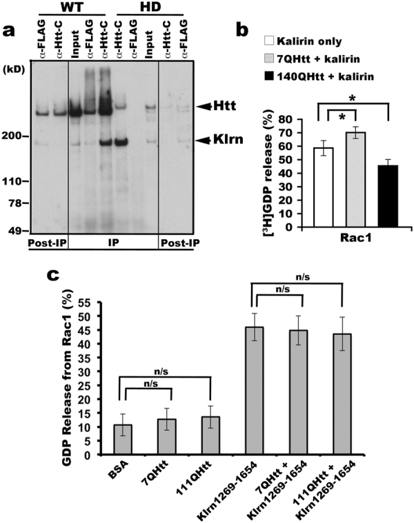 Mutant Htt compromises kalirin-enriched proteins from promoting nucleotide exchange on Rac1. ( a ) Stronger binding of kalirin to mutant Htt than to WT Htt. Triton X-100 solubilized brain endosomes prepared from WT (7Q) or HD140Q/140Q mouse brains were incubated with protein-G beads coupled with antibodies against aa2703-2911 of Htt. Precipitates were washed and analyzed by SDS-PAGE and Western blot with indicated antibodies. Of note, the detection of Htt signal in the lane identified as WT anti-FLAG was due to the leak-over of the WT anti-Htt-C sample from the adjacent lane. Shown is one blot analysis out of three experiments. ( b ) Kalirin-7 immunoprecipitated from mouse brain membranes was incubated with Htt precipitated from mouse brain cytosol (wild-type or HD140Q/140Q) at 4 ° C for 2 hrs and used for catalyzing [ 3 H]GDP release from GST-Rac1. Data are represented as mean percentage of released [ 3 H]GDP from GST-Rac1 (n = 3, Mean ± SD, Student t-test: * p