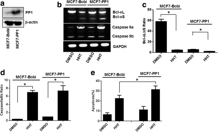 Overexpression of PP1 increases alternative splicing and promotes tumor cell apoptosis induced by HHT. A stable MCF7 cell line overexpressing PP1 was constructed with a lentiviral expression system. MCF7-Bobi and MCF7-PP1 cells were treated with 0.5 μM HHT. Total RNA was extracted and analyzed by semi-quantitative RT-PCR for the splicing of Bcl-x and Caspase 9. a Overexpression of PP1 in MCF7 cells. b Semi-quantitative RT-PCR analysis of Bcl-x and Caspase 9 splicing from MCF7-Bobi and MCF7-PP1 cells treated with 0.5 μM HHT. c and d Ratio of Bcl-xL/xS and Caspase 9a/9b in MCF7-Bobi and MCF7-PP1 cells (* P