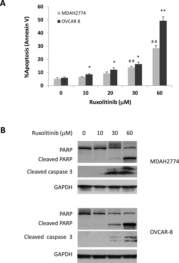 Dose dependent induction of apoptosis (A) and (B) OVCAR-8 and MDAH 2774 cells were incubated with various concentrations of ruxolitinib for 48 h. Apoptosis was determined by flow cytometry using annexin V and PI staining (A) or using cleaved poly-ADP ribose polymerase (PARP) and cleaved caspase-3 by Western blot (B). * P