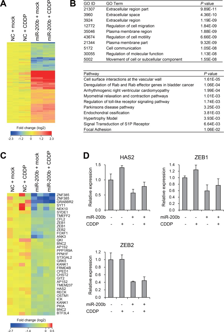 Effects of miR-200b on gene expression profiles in CDDP-resistant BCa cells ( A ) Heat map showing expression of 733 probe sets (595 genes) identified through microarray analysis of T24RC cells transfected with a miR-200b mimic or negative control (NC) and then treated with or without CDDP. ( B ) Results of gene ontology (GO, upper) and pathway (lower) analyses of the 595 selected genes. ( C ) Heat map showing expression of miR-200b target genes predicted by TargetScan. ( D ) qRT-PCR analysis of the indicated genes in T24RC cells with or without miR-200b and/or CDDP. Shown are means of 3 replications; error bars represent SDs.