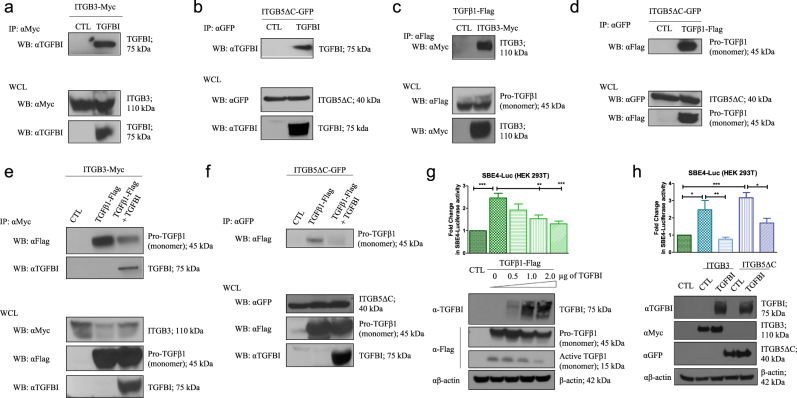 TGFBI regulates signaling pathways by binding ITGB3 and ITGB5. a ITGB3 immunoprecipitation (IP: αMyc) was performed on HEK293T cells expressing ITGB3 in the absence or the presence of TGFBI (via transfection). Interaction between ITGB3 and TGFBI was detected using anti-TGFBI (αTGFBI) antibody. b ITGB5 immunoprecipitation (IP: αGFP) was performed on HEK293T cells expressing ITGB5ΔC with or without presence of TGFBI (via transfection). Interaction between ITGB5 and TGFBI was detected using anti-TGFBI (αTGFBI) antibody. c Immunoprecipitation of pro-TGFβ1 (IP: αFlag) was performed on HEK293T cells expressing pro-TGFβ1 alone or with ITGB3. Interaction between ITGB3 and pro-TGFβ1 was identified using anti-Myc (αMyc) antibody. d Immunoprecipitation of ITGB5 (IP: αGFP) was performed on HEK293T cells expressing ITGB5ΔC alone or with pro-TGFβ1. Interaction between ITGB5 and pro-TGFβ1 was revealed using anti-Flag (αFlag) antibody. e Co-immunoprecipitations were performed on HEK293T cells expressing ITGB3 alone or with pro-TGFβ1 in the absence (TGFβ1-Flag) or presence of TGFBI (TGFβ1-Flag + TGFBI). These data show competition between TGFBI and pro-TGFβ1 for ITGB3 binding. f Co-immunoprecipitations were performed on HEK293T expressing ITGB5ΔC alone or with pro-TGFβ1 in the absence (TGFβ1-Flag) or presence of TGFBI (TGFβ1-Flag + TGFBI). These data show competition between TGFBI and pro-TGFβ1 for ITGB5 binding. For a–f Western blot of the whole-cell lysates (WCLs) before pull-down is shown as a control for specificity and expression. g Top: relative luciferase activity was assessed after transient transfection of pro-TGFβ1-Flag and TGFBI-Myc, as indicated, and the co-transfection of pSBE4-luciferase vector (150 ng) and Renilla plasmid (100 ng). Bottom: western blot of HEK293T cells transfected with pro-TGFβ1-Flag encoding plasmid (1 µg) and TGFBI-Myc encoding plasmid, as indicated. Anti-Myc (αMyc) antibody was used to assess the expression of TGFBI, and anti-Flag (αFlag) antibody 