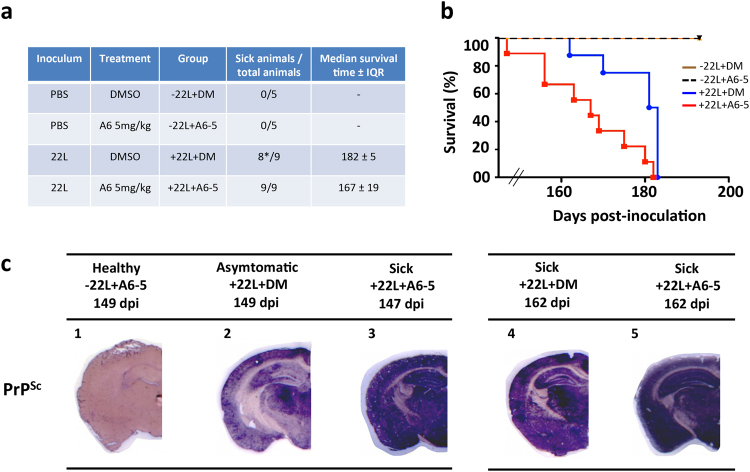 Mice treated with 5 mg/kg of A6 compound exhibit a decreased lifespan and an increased PrP Sc burden. ( a ) Table summarizing the different groups of animals: prion inoculations, treatment performed, number of sick animals out of total number of animals (*means that in this group, one mouse was sacrificed while asymptomatic) and median survival time ± IQR (interquartile range). (b) Kaplan-Meier survival curves of mice intra-cerebrally (i.c.) inoculated with 5 μL of 22L prions, and treated with 50 μL of DMSO (n = 9, blue) or with 5 mg/kg of A6 (n = 9, red) by intraperitoneal (i.p.) route, (+22L + DM versus +22L + A6–5: non–parametric Mantel-Cox log-rank test, ** p- value = 0,0067). Healthy control mice, inoculated with 5 μL of PBS, were treated with 5 mg/kg of A6 (n = 5, black dashed, −22L + A6–5) or non-treated (n = 5, brown, −22L + DM). (c) Left panel: PET-blots analysis of coronal sections of control healthy mice non-inoculated with prions and treated with 5 mg/kg of A6 (−22L + A6–5) (1) ; mice inoculated with 22L prions and either treated with DMSO (+22L + DM) (2) or treated with A6 (+22L + A6–5) (3) . Mice were all sacrificed at the same time (149, 149 and 147 dpi respectively) either in an asymptomatic or sick stage. Right panel: PET-blots analysis of coronal sections of sick mice: +22L + DM (4) and +22L + A6–5 (5) sacrificed at the same time (162 and 163 dpi, respectively). Sections were labelled with SAF84 antibody to detect PrP Sc and revealed with Vectastain ABC-AmP kit.