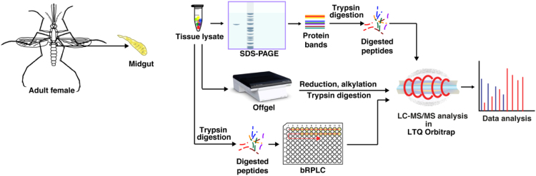 The workflow illustrating the steps involved in proteomic analysis of midgut of female An. stephensi. Proteins were extracted from the midgut tissues and then subjected to SDS-PAGE, OFFGEL and bRPLC fractionation. Fractions collected were analyzed on analyzed on <t>LTQ-OrbitrapVelos</t> and LTQ-Orbitrap Elite mass spectrometer. Mascot and SEQUEST algorithms were used to perform database searches.