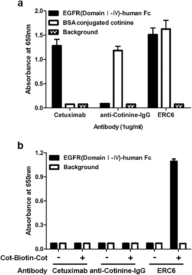 Reactivity of ERC6 to human EGFR and cotinine. a Cetuximab, anti-cotinine-IgG, and ERC6 were added to wells of a microtiter plate coated with human EGFR (■) or cotinine (□). The wells were probed with HRP-conjugated anti-human IgG (Fab-specific) antibody. b Cetuximab, anti-cotinine-IgG, and ERC6 were added to different wells of a microtiter plate coated with human EGFR (■). After addition of Cot-Biotin-Cot peptide, wells were probed with HRP-conjugated streptavidin. The background signal was measured in control wells that were coated with BSA (□). Absorbance at 650 nm was measured. The results are shown as the mean ± SD acquired from experiments conducted in triplicate. EGFR epidermal growth factor receptor, HRP horseradish peroxidase, BSA bovine serum albumin