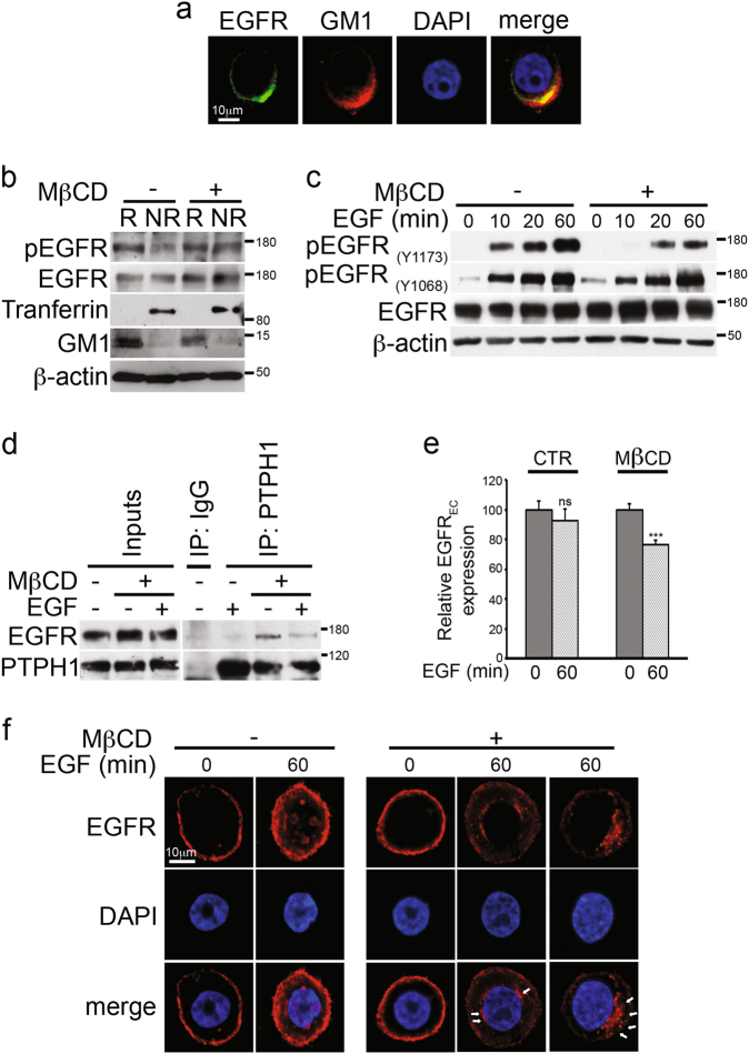 Rafts depletion induces endogenous EGFR-PTPH1 interaction, EGFR dephopshorylation, and its intracellular arrest in MDA-MB-468 TNBC cells. a Immunofluorescence assay (IF) was performed by using anti-EGFR (green) and anti-GM1 (red) antibodies to reveal the endogenous EGFR-rafts colocalization, shown in yellow (merge). Nuclei were DAPI labeled (blue). b Raft (R) and non-raft (NR) fractions derived from Methyl-β-cyclodextrin (MβCD)-treated and untreated cells were used for immunoblot assay with anti-pEGFR (Y1173) (indicated as pEGFR) and anti-EGFR antibodies, to test activated and total EGFR expression in rafts compartment, respectively. Anti-transferrin and anti-GM1 antibodies were used as a fraction markers. c Cells have been activated with EGF ligand for the times indicated, in the presence or absence of MβCD: the expression of phospho-EGFR at tyrosine 1173 and 1068 residues and total EGFR was determined in whole cell extracts by immunoblot analysis using the specific indicated antibodies. d – f MDA-MB-468 cells were treated with MβCD and stimulated with EGF for 60 min: control or anti-PTPH1 antibody immunoprecipitates were probed with anti-EGFR, to detect the EGFR-PTPH1 binding, and with the anti-PTPH1 antibody, to show PTPH1 immunoprecipitated protein levels. The inputs indicated in the panel shows 5% of each total lysate d . Relative EGFR extracellular expression (EGFR EC ) was evaluated by FACS e . IF assay was performed by using anti-EGFR (red) antibody to reveal the endogenous EGFR intracellular localization. Nuclei were DAPI labeled (blue). White arrows indicated peri-nuclear EGFR localization in EGF stimulated MβCD-treated cells ( f ). a , f Representative single plane confocal IF images captured using a × 60 oil objective. Scale bar: 10 μm. In both b and c , western blotting against the anti-β-actin was used as a loading control. All data are representative of at least three independent experiments, each in triplicate. Results shown in e are expressed as the