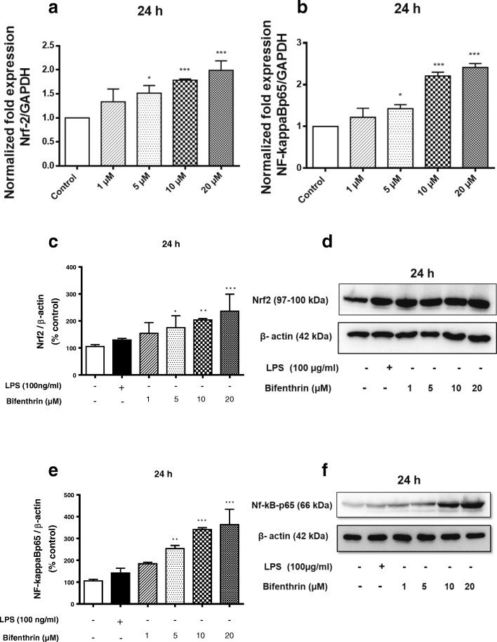 BF exposure increases the expression of Nrf-2 and NF-kappaB in primary microglia. Microglial cells were exposed to different concentrations of BF (1–20 μM) for 24 h. Gene expression of Nrf-2 ( a ) and NF-kappaBp65 ( b ) was analyzed by real-time quantitative PCR. GAPDH was used as an internal control for normalization, and data were quantified by using the comparative cycle threshold Ct method. Similarly, cells were treated with BF and thereafter incubated with or without LPS (100 ng/mL) as a positive control (black column) for 24 h. Whole cell lysates were subjected to Western blot for Nrf-2 ( c , d ), NF-kappaBp65 ( e , f ), and beta-actin. Data are presented as percentage control of DMSO. Statistical analyses were carried out by using one-way ANOVA followed by post hoc Student–Newman–Keuls test. Results are expressed as means ± SEM of three independent experiments. * p