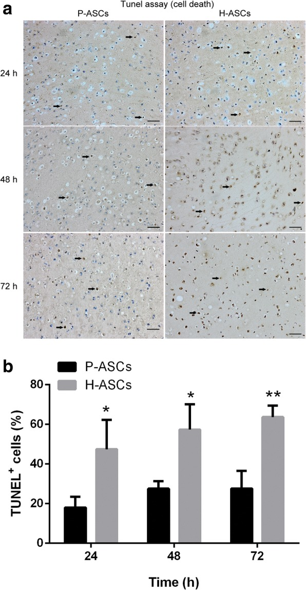 Physioxia increased ASC survivability in vivo. After mixing with 80 μL of fibrin gel, 1 × 10 6 P-ASCs or H-ASCs were subcutaneously transplanted into the dorsum of nude mice. The implants were extracted after 24, 48, and 72 h. a TUNEL assay was used to stain the nucleus of dead cells. The black arrows indicate dead cells. b The TUNEL + cell rate was determined by the ratio of TUNEL + cells versus total cells. Three fields were quantified. Data are presented as the mean ± SD, * P