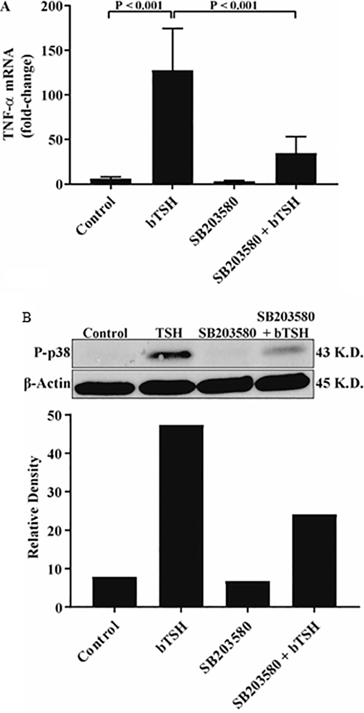 bTSH induced TNF-α mRNA expression is mediated through p38/MAPK. (A) Fibrocytes were pretreated with nothing or SB203580 (20 μM) for 1 hour and then treated with or without bTSH (5 mIU/mL) for 1 hour. (B) Cultures were pretreated as in (A) and then treated with or without bTSH for 45 minutes. Monolayers were solubilized and subjected to Western blot analysis for phosphorylated p38 and β-actin. Bands were quantified by densitometric analysis ([B], bottom). Data are expressed as mean ± SD of triplicates. Representative of three independent experiments using cells from a different donor.
