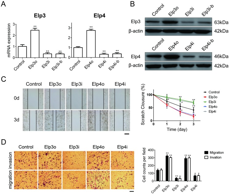 Elp3 and Elp4 promote cell migration and invasion of HepG2 cells. The plasmids for Elp3 overexpression (Elp3o) and Elp4 overexpression (Elp4o), Elp3 interference (Elp3i) and Elp4 interference (Elp4i) were introduced into stably transfected HepG2 cell lines (A-D). ( A ) The mRNA expression of Elp3 or Elp4 in stably transfected HepG2 cell lines was examined by qRT-PCR as described in Materials and Methods. The relative mRNA levels of Elp3 or Elp4 was normalized against β-actin and depicted graphically. Elp3 and Elp4 mRNA levels in control HepG2 cells were set to 1 fold. ( B ) The protein expression of Elp3 and Elp4 in stably transfected HepG2 cells were examined by western blot analysis. A β-actin western blot is shown as loading control. ( C ) Wound-healing assay. Wound fields were observed directly after scribing (0 d), and cell migration was followed for 1, 2 and 3 days. Representative images taken at 0 and 3 days were shown up in the left panel. A quantification of the data obtained is illustrated on the right. For each experimental condition, the width of starching was set to 100% at time 0 and the width in other time points expressed relative to that. ( D ) Transwell assay. Cells on the lower surface of the chamber were stained by crystal violet after transfection. Representative images of migrated cells or invaded cells are shown in the left panel. The numbers of migration cells and invasion cells were counted. Data were calculated and presented as a histogram in the right panel. The results are expressed as the mean ± SD of three independent experiments. The figures show the data from a representative experiment performed in triplicates (*P