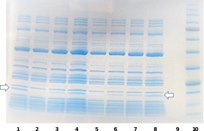 In vitro translation of dihydrofolate reductase ( DHFR ) in the presence of synthetic peptides representing the toxin and antitoxin proteins of the D11S_1718‐1719 and D11S_1194‐1195 toxin‐antitoxin ( TA ) systems. In vitro translation reactions were incubated with the toxin or antitoxin proteins of the TA systems, either alone or in combination and reaction products were electrophoresed in a <t>Tris‐Glycine</t> <t>SDS</t> ‐ <t>PAGE</t> gel. Lanes 1 and 8, positive control reaction without toxin or antitoxin protein (arrows indicates the DHFR protein); Lane 2, D11S_1194 toxin only; Lane 3, D11S_1195 antitoxin only; Lane 4, equal mixture of the D11S_1194‐1195 toxin and antitoxin; Lane 5, D11S_1718 toxin only; Lane 6, D11S_1719 antitoxin only; Lane 7, equal mixture of the D11S_1718‐1719 toxin and antitoxin; Lane 9, empty; Lane 10, size markers