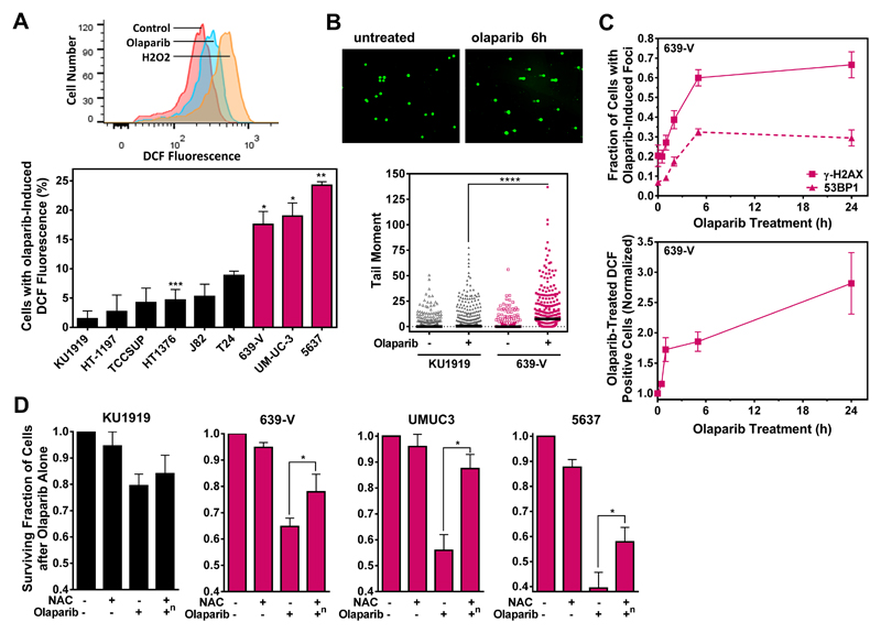 """Involvement of ROS in olaparib-mediated cytotoxicity. A. Upper panel, representative flow cytometry histograms to illustrate the olaparib-induced shift of ROS levels as detected by the DCF probe in 639-V cells. A 1 hour treatment with 100 μM H 2 O 2 was used as a positive control. Lower panel, percentage of cells with high ROS levels following olaparib treatment, correct for endogenous ROS levels in the absence of drug. B. Upper panel, representative images illustrating olaparib-induced comets in 639-V cells following 5 hours (h) of drug treatment. Lower panel, quantification of alkaline Comet assay with tail moment plotted against treatments as indicated. Scatter plots show individual data points from 3 independent repeat experiments, with horizontal lines indicating median values. C. Upper panel, DSB kinetics using γ-H2AX and 53BP1 foci formation in olaparib-treated 639-V cells with readouts normalized to untreated controls. Lower panel, parallel determination of ROS formation. D . Fraction of cells after treatment with the anti-oxidant N-acetyl cysteine (NAC) or olaparib was determined by the syto60 assay. The combined drug effect was corrected for the effect of NAC alone as indicated by """"n"""". NAC was added to cells every 24 hours at 0.5 mM (KU1919, 639-V) or 0.2 mM (5637, UMUC3). For data presentation and statistical comparisons see Fig. 1 , except in Fig. 2B statistical comparison was performed using the Mann-Whitney test."""