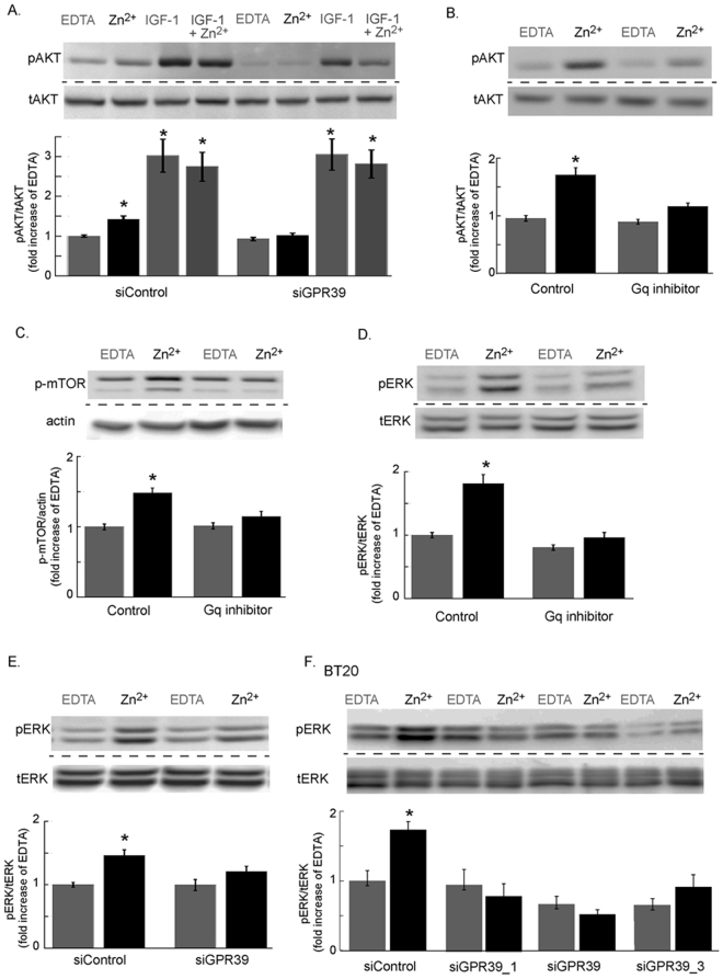 Activation of PI3K and MAPK pathways by ZnR/GPR39 in estrogen independent breast cancer cells. ( A ) Immuno-blots of phospho and total <t>AKT</t> in TAMR cells transfected with siGPR39 or siControl and treated with Zn 2+ (200 μM) or IGF-1 (100 nM) or a combination of Zn 2+ and IGF-1 or EDTA (100 μM) as control (top panel). Bottom panel shows densitometry analysis. ( B ) Immunoblot and denistometry analysis of pAKT and tAKT, as in A, of TAMR cells treated with or without the Gαq inhibitor, YM-254890 (1 μM, 30 min) and following Zn 2+ (200 μM) application. ( C ) Immunoblot and denistometry analysis of phospho-mTOR levels in TAMR cells treated with or without the Gαq inhibitor, YM-254890 (1 μM, 30 min) and following Zn 2+ (200 μM) application. ( D ) Immunoblot and densitometry analysis of pERK1/2, relative to total <t>ERK1/2</t> in TAMR cells treated with or without the Gαq inhibitor, YM-254890 (1 μM, 30 min) and following Zn 2+ (200 μM) application. ( E ) Immunoblot and denistometry analysis of pERK1/2, relative to total ERK1/2 in TAMR cells transfected with siGPR39 or siControl and treated with or without Zn 2+ (200 μM). ( F ) Immunoblot and denistometry analysis of pERK1/2, relative to total ERK1/2 in BT20 cells transfected with several siGPR39 constructs or siControl and treated with or without Zn 2+ (200 μM) (n = 2 independent experiments). Densitometry quantification in the bar graphs are averages of at least n = 3 independent experiments performed in triplicates for each condition (p